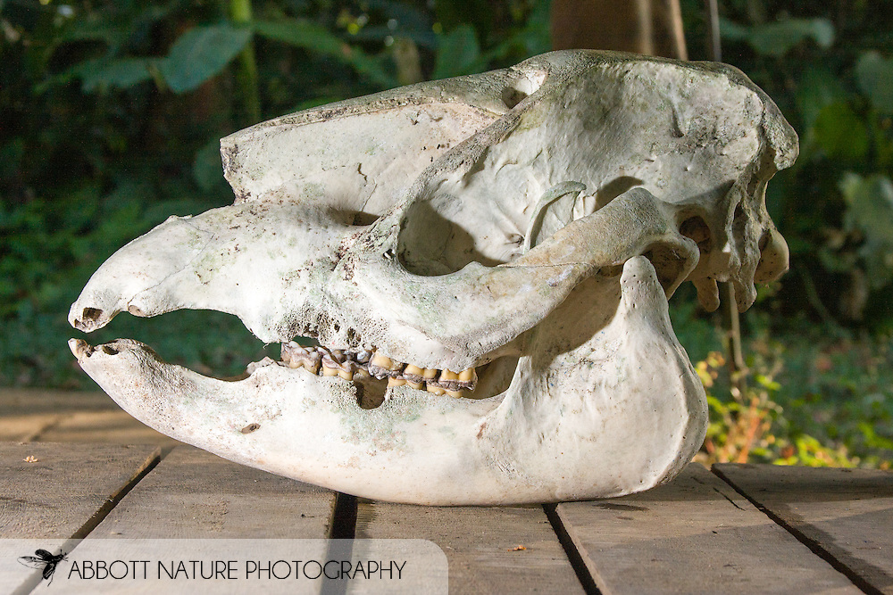 Tapirus bairdii - skull(Central American Tapir, Baird's Tapir): Mammalia: Perissodactyla: Tapiridae<br /> COSTA RICA<br /> Corcovado National Park<br /> Sirena Biological Station<br /> 3-15.Jan.2008<br /> J.C. Abbott #2353