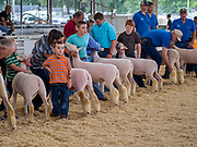 14 AUGUST 2019 - DES MOINES, IOWA: Showing sheep at the Iowa State Fair. The Iowa State Fair is one of the largest state fairs in the U.S. More than one million people usually visit the fair during its ten day run. The 2019 fair run from August 8 to 18.                PHOTO BY JACK KURTZ