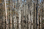 Cypress and Tupelo trees line Gum Bayou off  Pearl River in St. Tammany Parish, Louisiana.