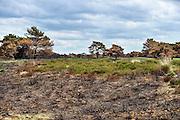 Nederland, Schaarsbergen, 25-5-2014Na de brand van enkele weken geleden is de natuur op de Veluwe zich langzaam aan het herstellen. Tussen de zwartgeblakerde hei komt het eerste groen weer boven de grond.Foto: Flip Franssen/Hollandse Hoogte