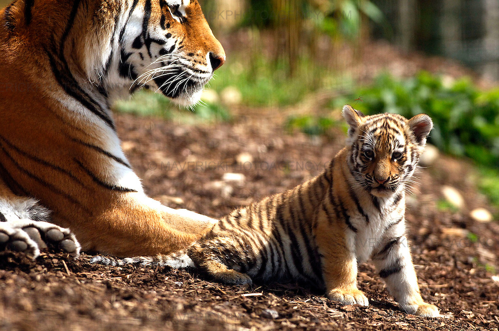 Three rare tiger cubs have been named after a two-month wait to determine their sex.. .Bosses at the Highland Wildlife Park discovered yesterday (SUN) that Amur tiger Sasha had given birth to one boy and two girls...Visitors have been flocking to see Vladimir, Natalia and Dominika at their home in Kingussie, near Aviemore, since they were revealed to the public last month...Picture shows one of the rare Amur tiger cubs with mum Sasha at the Highland Wildlife Park..