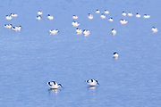 Avocets on the Middlebere channel from Arne. Poole Harbour, Dorset, UK.