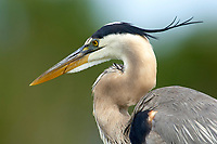 Great Blue Heron Ardea herodias Wakodahatchee Wetlands Delray Beach Florida USA
