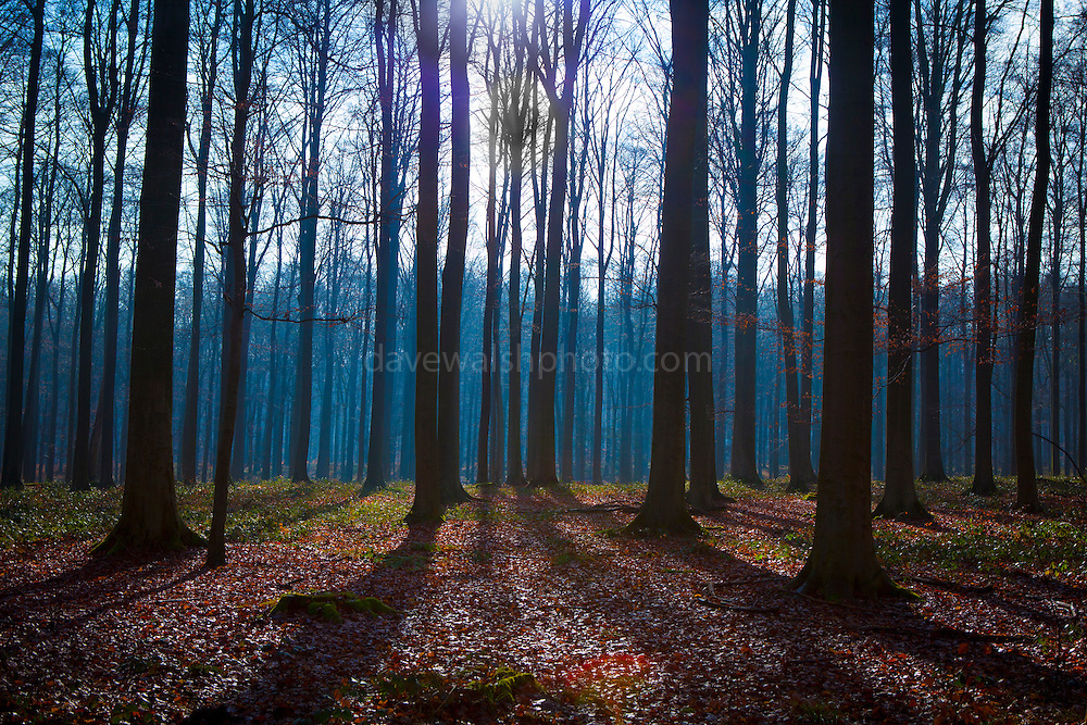 "The Sonian Forest, Foret de Soignes, or Zoniënwoud, an 11,000 hectare woodland to the southeast of Brussels, providing a ""green lung"" for the polluted, traffic choked city. The forest is currently in three jurisdictions, Brussels, Flanders and Wallonia, but EU involvement in 2013 will see development of plans to re-unify the forest, for the benefit of humans and wildlife. This mage can be licensed via Millennium Images. Contact me for more details, or email mail@milim.com For prints, contact me, or click ""add to cart"" to some standard print options."