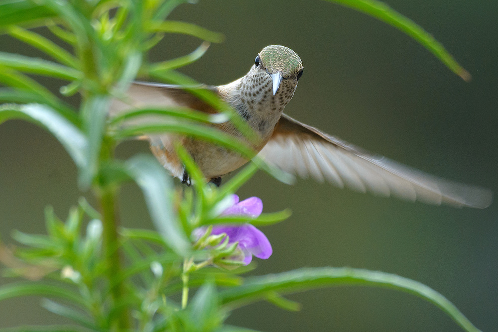 Broad-tailed Hummingbird (female) hovering near wildflowers, Boulder, Colorado
