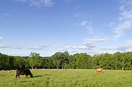 Goshen, New York - Animals at Banbury Cross Farm on June 6, 2014.