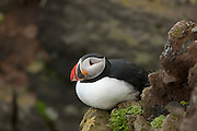 An Atlantic puffin (Fratercula arctica) rests on a rocky ledge on the Látrabjarg bird cliff in Iceland. Látrabjarg is Europe's largest bird cliff, 14 km (8.7 miles) long and up to 440 meters (1444 feet) above the Atlantic Ocean..
