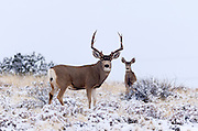 Mule Deer buck and doe in Colorado