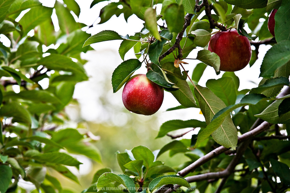 Two perfect, round red apples hanging from a tree in an apple orchard. A glistening rain drop hangs from the bottom of the central apple.