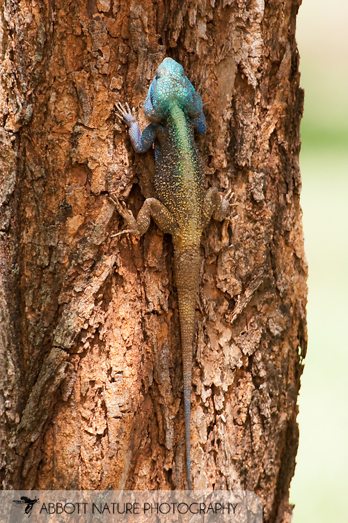 Blue Headed Tree Agama (Agama atricollis) - male<br /> SOUTH AFRICA: Mpumalanga Province<br /> Kruger National Park; near Satara Camp area<br /> 13-15.Jan.2006<br /> J.C. Abbott #2222
