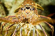 A Caribbean Spiny lobster.