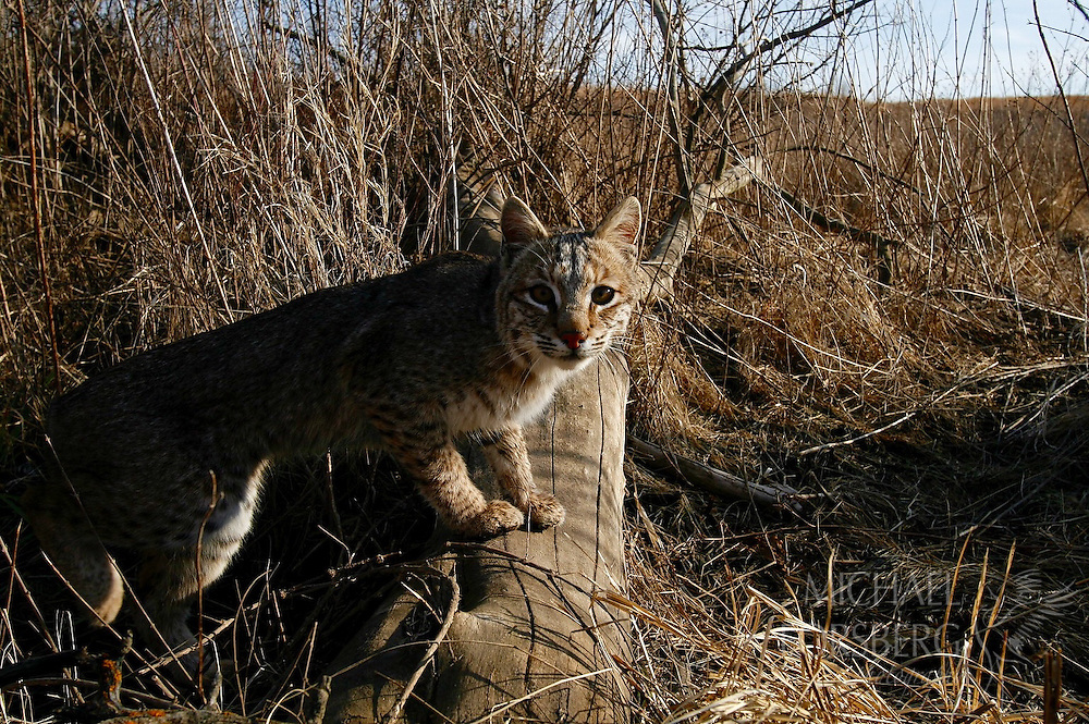 Lancaster County.  Nebraska. Audubon's Spring Creek Prairie .<br /> <br /> Camera traps - cat?