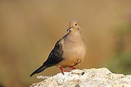 01081-008.14 Mourning Dove (Zenaida macroura)  Starr Co. TX