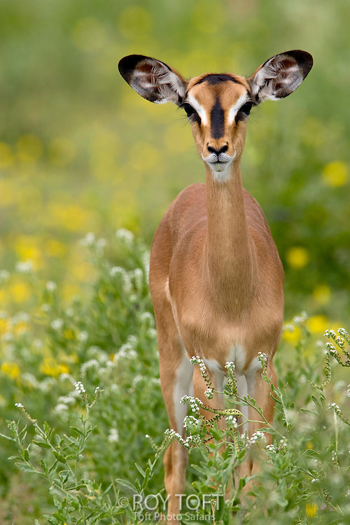 Frontal view of a black-faced impala.