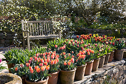 Containers of tulips at Glebe Cottage. Varieties include Tulipa 'Prinses Irene', T. 'Gavota' and T. 'Abu Hassan'