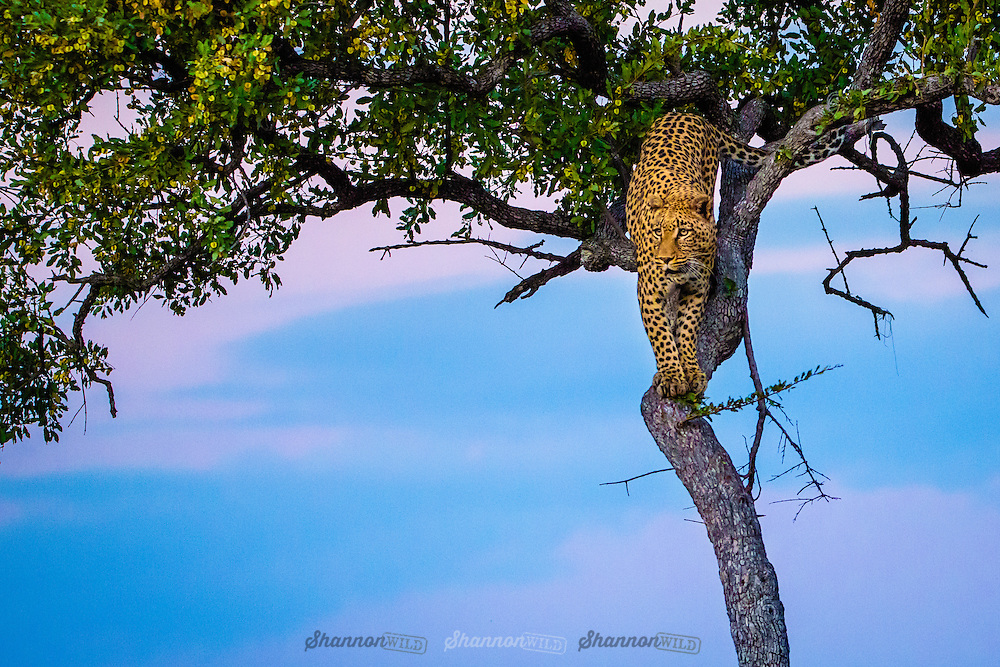Leopard (Panthera pardus) in a tree at dusk