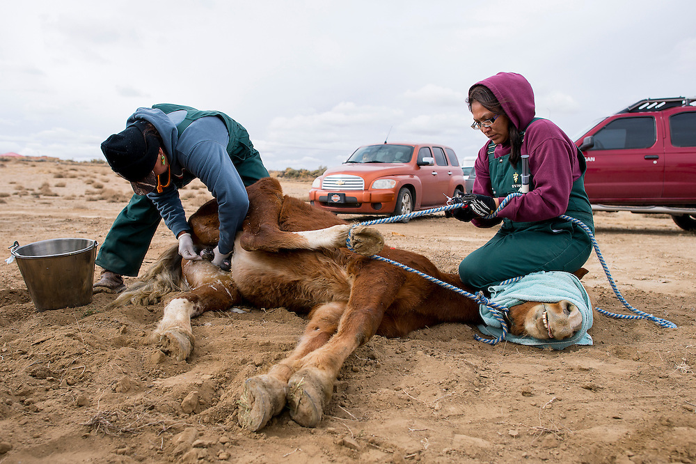 112013      Brian Leddy<br /> Navajo Nation veterinarians  XXXX and Carmaletha Bitsoi-Lee castrate a horse Wednesday in Twin Lakes. The program was free to area residents. The Navajo Nation veterinary program was in the area area administering birth control to mares and castrating colts and stallions in an effort to help with population control.