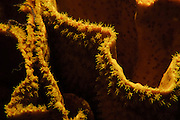 Israel, Eilat, Red Sea, - Underwater photograph of a Star coral (Favia sp.) with extended Polyps at night.