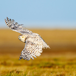 A female snowy owl is easy to recognized by its flecked  feathres in comparission with pure whiteness of a male snowy owl. Arctic Tundra, Northern Tip of the National Petroleum Reserve, Alaskan Arctic
