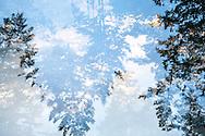 A multiple exposure image of Douglas Fir treetops.