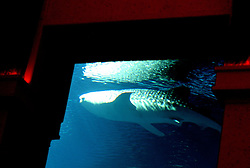 Sammy a 13ft Whale Shark swims around the open air aquarium at the   Atlantis Hotel at the end of the Palm Jumeirah , Dubai ,November 2nd 2008, Dubai. Photo by Andrew Parsons / i-Images