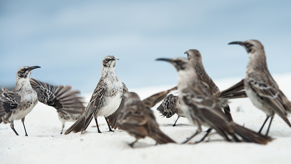 "Two ""gangs"" of Espanola Mockingbirds are have a standdown on a white beach. They were ""dancing"" agains eachother but never engaged in a physical fight. On Espanola Island, Galapagos."