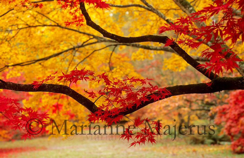 Acers in autumn