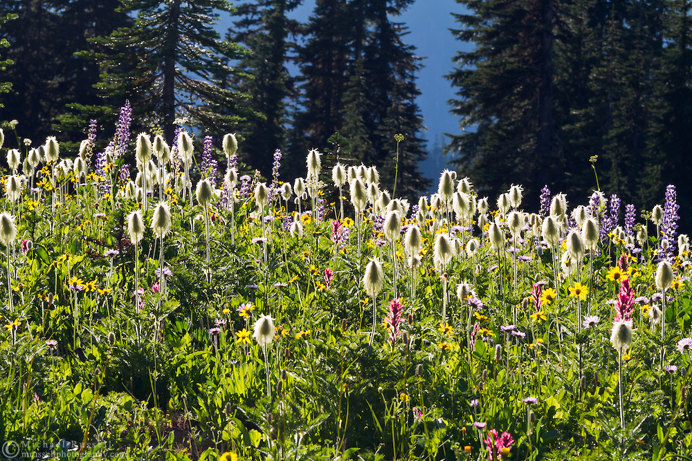 Western Anenome seedheads and other wildflowers near Tipsoo Lake at Mount Rainier National Park in Washington State, USA