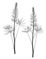 X-ray image of a lupine stalk pair (Lupinus, black on white) by Jim Wehtje, specialist in x-ray art and design images.