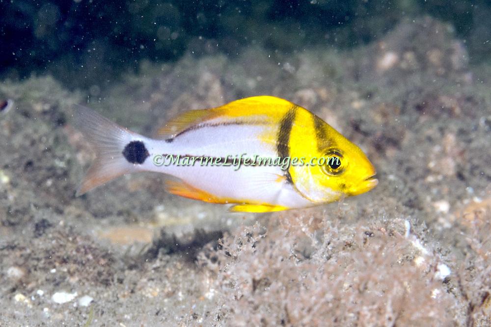 Porkfish, juvenile, inhabit reefs in Tropical West Atlantic; picture taken Blue Heron Bridge, Palm Beach, FL.