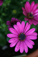 Pink flowers with water droplets
