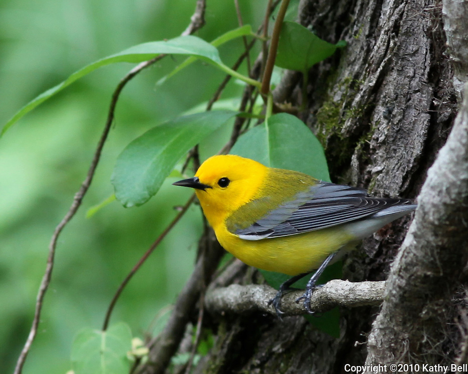 Image of a Prothonotary Warbler