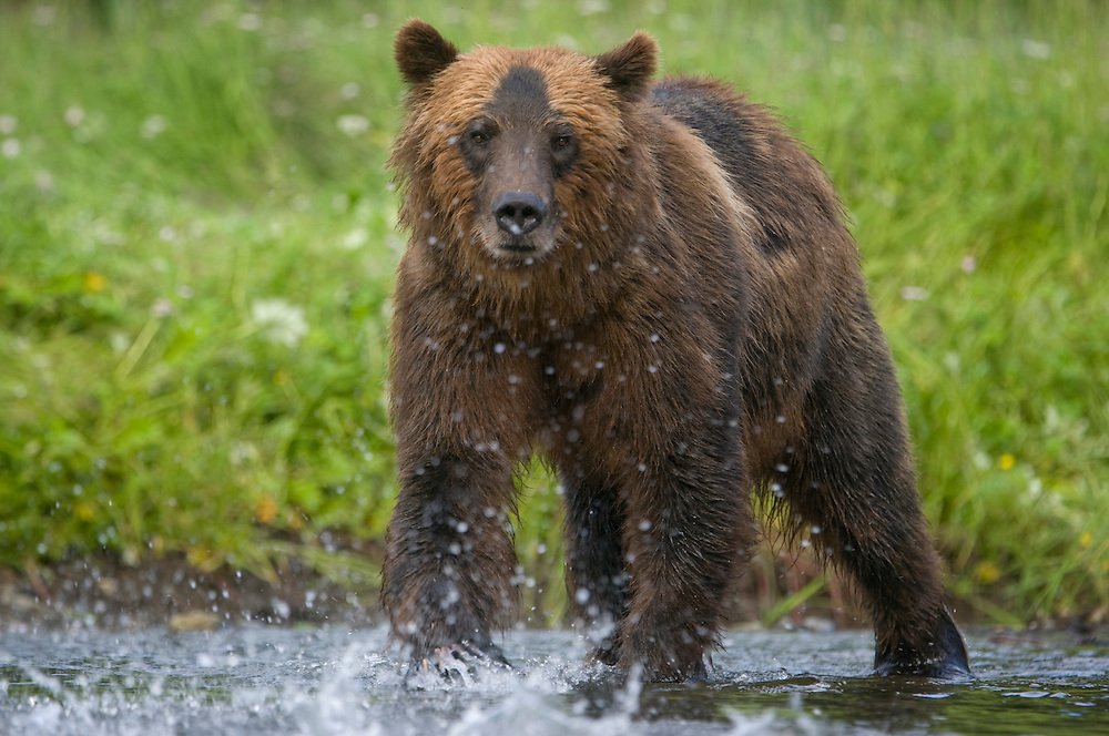 USA, Alaska, Tongass National Forest, Windfall Harbor, Brown (Grizzly) Bear (Ursus arctos) fishing for spawning salmon along banks of Windfall Creek