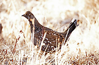 A Dusky Grouse walks through the tall grass in a mountain valley in southern Utah.