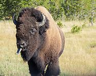 A buffalo in Yellowstone sticks out its long tongue.