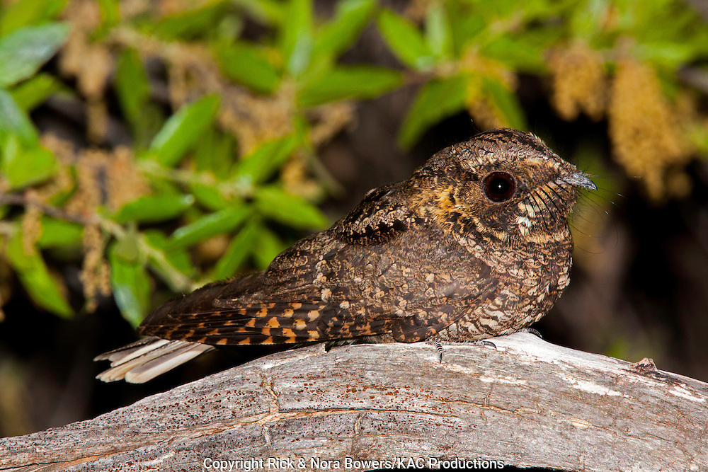 Meixcan Whip-poor-will <br /> Antrostomus arizonae<br /> Santa Catalina Mountains, Pima County, Arizona, United States<br /> 18 May     Adult Male     Caprimulgidae             Formerly Caprimulgus vociferus arizonae