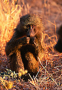 Baboon at Masai Mara Game Reserve.