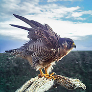 Peregrine falcon shaking out all her feathers, © 2015 David A. Ponton [photo by motion-activated camera mounted on the dead tree that is a favorite perch on the canyon rim. The low-resolution camera limits repro. size, prints to square formats up to 16x16 in.]