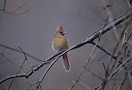 Northern Cardinal, Cardinalis cardinalis, female, backlit