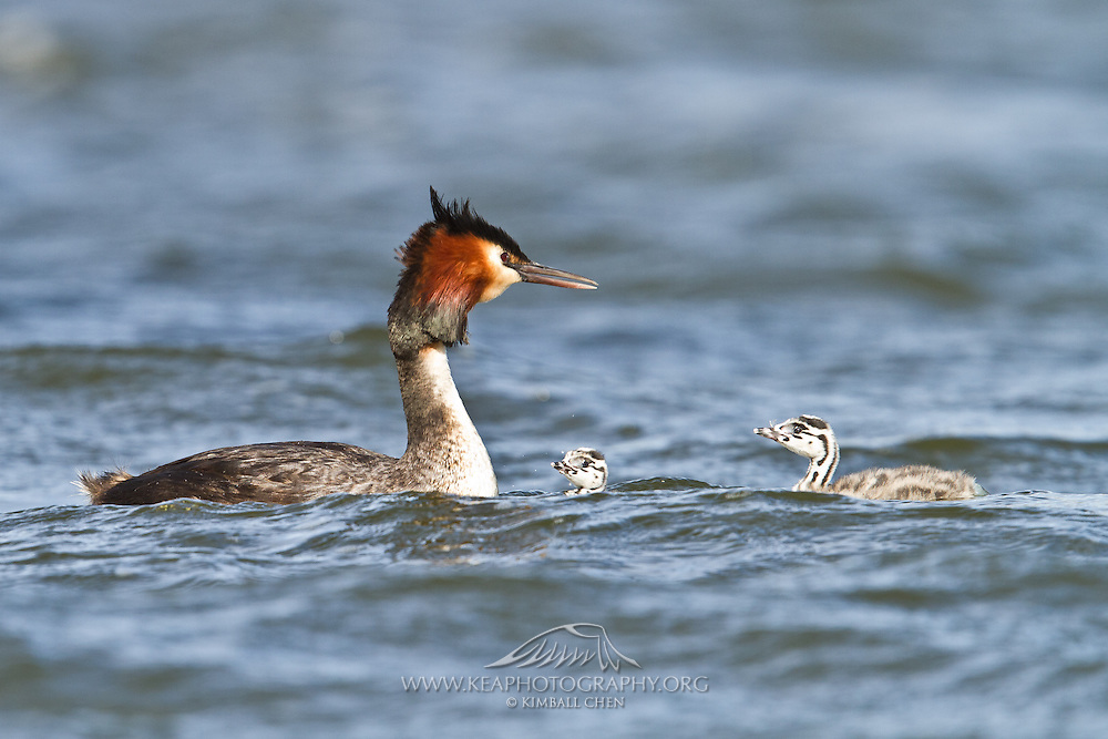 Australasian Crested Grebe chicks returning to its parent to catch another free ride, Lake Hayes, New Zealand