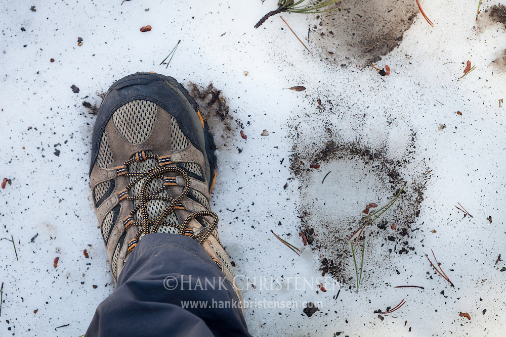 A booted foot is placed next to a bear track for scale, Yosemite National Park