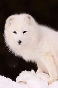 USA, Kalispell (MT).Arctic fox (Alopex lagopus) (C)