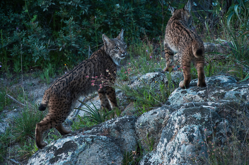 Iberian Lynx (Lynx pardinus) female & one year old female offspring. Although solitary they sometimes move around with others in their family group.<br /> Sierra de Andújar Natural Park, Mediterranean woodland of Sierra Morena, north east Jaén Province, Andalusia. SPAIN<br /> RANGE: Iberian Penninsula of Spain & Portugal.<br /> CITES 1, CRITICAL - DANGER OF EXTINCTION<br /> Fewer than 200 animals in the wild. There is a reduced genetic variability due to their small population. They have suffered due to hunting, habitat loss and road accidents, but the most critical threat today is the reduced numbers of wild Rabbits (Oryctolagus cuniculus) within the lynx's range. The rabbits are the principal food source of the lynx and they are suffering from deseases such as Myxomatosis & Rabbit haemoragic virus. The lynx is also suffering from deseases such as feline leukaemia<br /> A medium sized cat weighing 12-15kgs, Body length 90cm, Shoulder height 45-50cm. They have a mottled fur pattern, (3 varieties of fur pattern found between the different populations and distinguishing them geographically)  short tail, ear tufts and are bearded. They are territorial cats although female cubs have been found to share their mother's territory. Mating occurs in Dec/Jan and cubs born around April. They live up to 13 years.<br /> <br /> Mission: Iberian Lynx, May 2009<br /> © Pete Oxford / Wild Wonders of Europe<br /> Zaldumbide #506 y Toledo<br /> La Floresta, Quito. ECUADOR<br /> South America<br /> Tel: 593-2-2226958<br /> e-mail: pete@peteoxford.com<br /> www.peteoxford.com