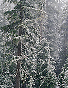 Snowstorm, Mount Hood National Forest, Cascade Mountains, Oregon.