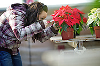 """Savannah Gillham, 14, meticulously prunes a poinsettia plant Friday in the New Visions High School greenhouse in Post Falls. Students have worked in """"The Seeds of Change Greenhouse"""" during an elective class that covers small business concepts such as business writing, market research, plant biology, facility maintenance, teamwork, problem solving, book keeping, greenhouse pest management, strategizing, and advertising. Plants will be on sale for the 18th annual poinsettia sale at the school at 205 W. Mullan Ave. beginning Tuesday from 12:30 until 3 p.m."""