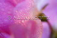 """Sweet Pea Harmony"" is the title of this photograph of a beautiful sweet pea in blossom and water drops, the art photography image is part of the FREEDOM exhibition at AOTUROA Photo Art Gallery 17 November 2013 to 09 March 2014, it also is printed in the month of July in the NZ FREEDOM Calendar 2014, and is #7 of the 14 photographs of the FREEDOM series, which is printed with the text ""FREEDOM to choose"" on greeting cards"