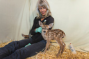 Black-tailed Deer<br /> Odocoileus hemionus<br /> Diane Nicholas, President of Kindred Spirits Fawn Rescue, with three-day-old orphaned fawns<br /> Kindred Spirits Fawn Rescue, Loomis, California