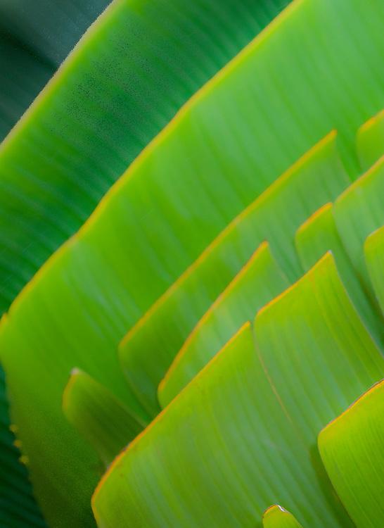 Photo art design of Traveller's Palm leaves