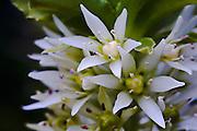 White Pineapple Lily - Tasmania