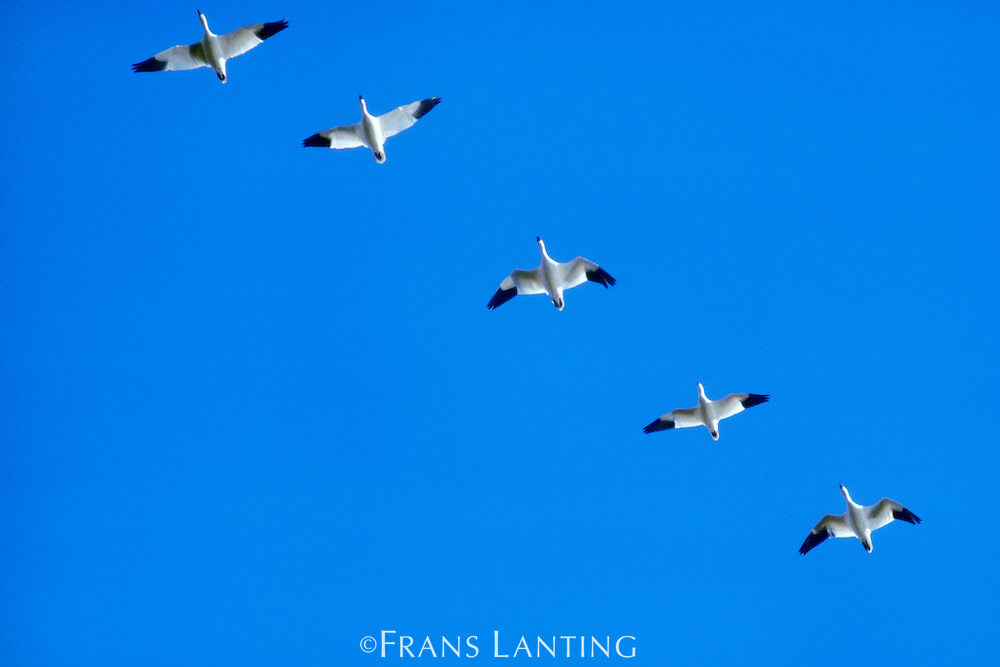 Snow geese in flight, Chen caerulescens, Klamath Basin National Wildlife Refuge, California